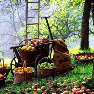 Slavnosti jablek